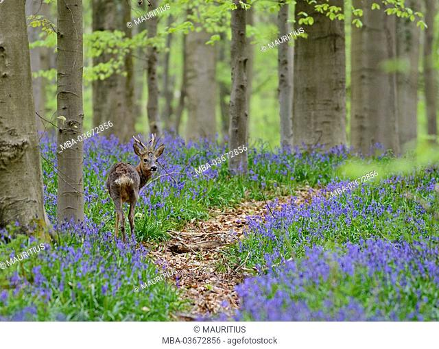 Belgium, Flanders, 'Hallerbos' (forest), roe deer, Capreolus capreolus, in a beech forest, copper beeches, Fagus sylvatica, bluebells, Hyacinthoides non-scripta