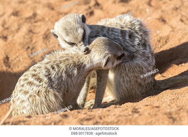 Africa, Southern Africa, South African Republic, Kalahari Desert, Meerkat or suricate (Suricata suricatta), adults, Grooming
