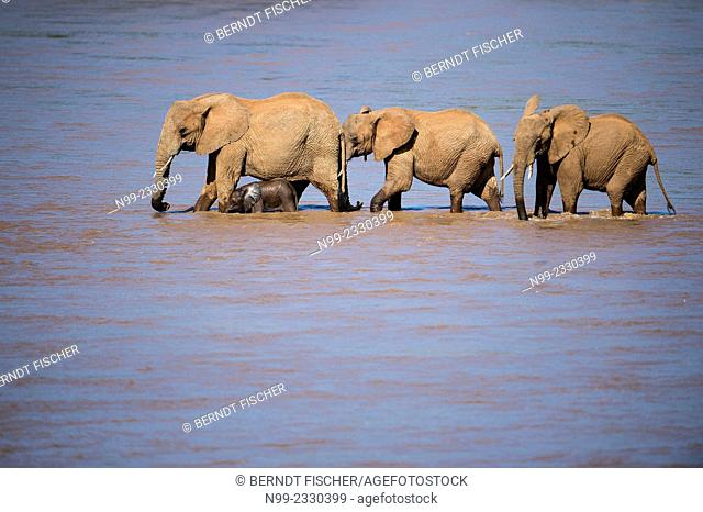 African elephants (Loxodonta africana) with cub crossing a river, Samburu National Reserve, Kenya
