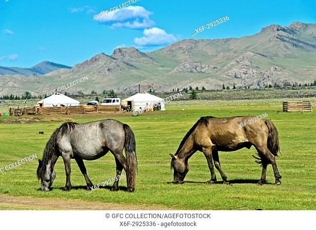 Two horses grazing on a pasture near yurts in the UNESCO World Heritage Site Orkhon Valley Cultural Landscape, Khangai Nuru Khangai Nuruu National Park