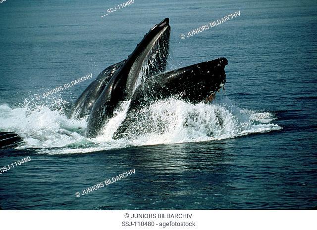 humpback whale - bubble net or lunge feeding / megaptera novaeangliae