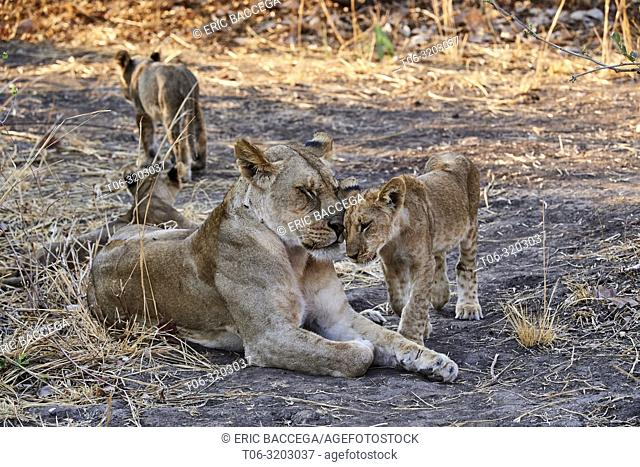 African lion (Panthera leo) cub greeting adult female, South Luangwa NP, Zambia, Zambia