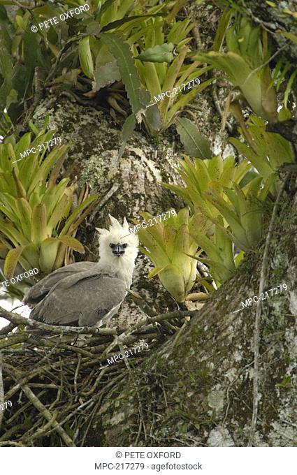 Harpy Eagle Harpia harpyja, five month old chick on nest in Kapok or Ceibo tree Ceiba trichistandra, Aguarico River drainage, Amazon rainforest, Ecuador