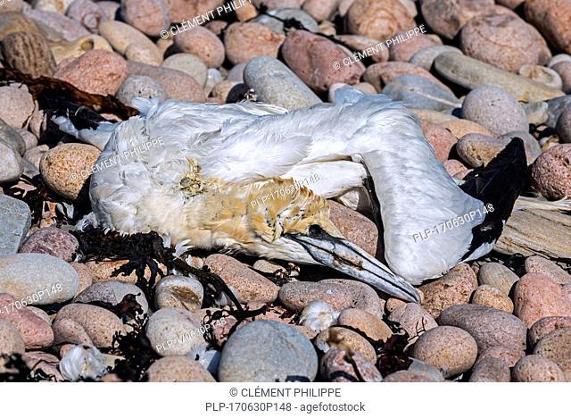 Dead northern gannet (Morus bassanus) washed ashore on shingle beach