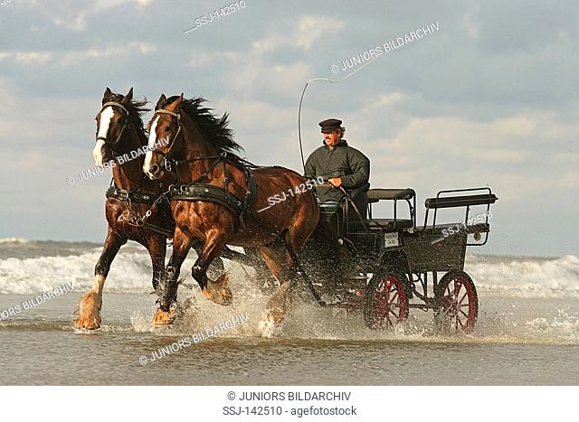 two Shire Horses - drawing carriage