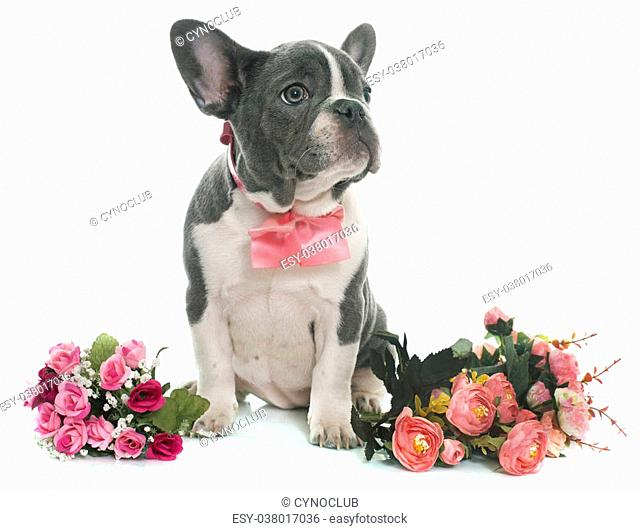 grey french bulldog in front of white background