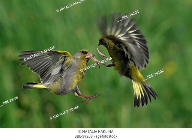 two fighting adult european greenfinches