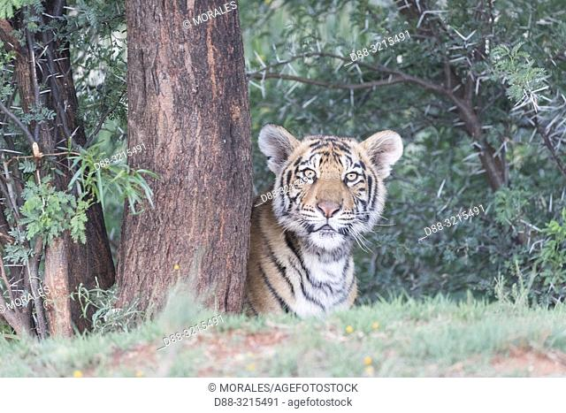 South Africa, Private reserve, Asian (Bengal) Tiger (Panthera tigris tigris), young 6 months old, resting