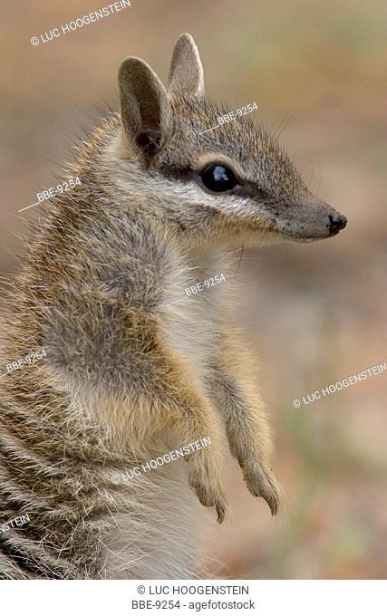 Numbat, Myrmecobius fasciatus
