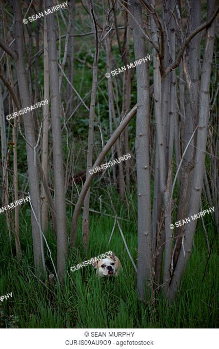French bulldog in forest standing in long grass looking at camera, Malibu Canyon state park, Santa Monica Mountains, California, USA