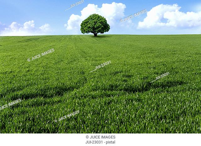 Tree in young wheat field