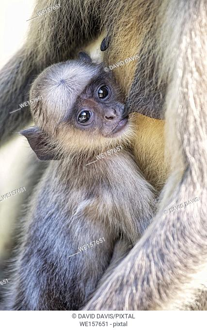 Infant Gray Langur Monkey Presbytis entellus nursing with its mother at the Ranthambore National Park in Rajastan India. And is regarded as sacred in Hinduism