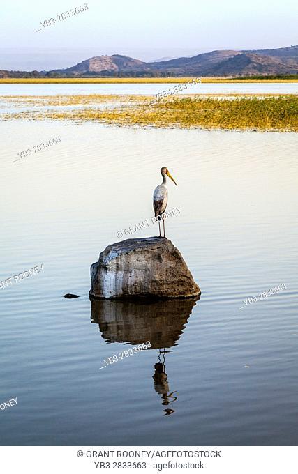 Yellow-Billed Stork (Mycteria ibis) Lake Ziway, Ethiopia