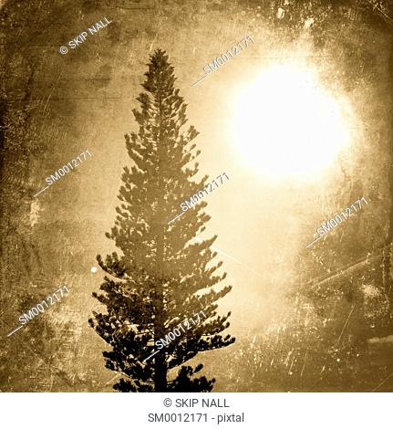 A pine tree in Florida silhouetted against the sky