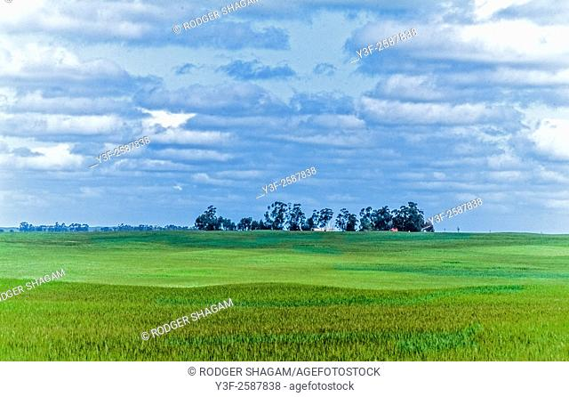 Farmland - a wheat field ripens in the sun. The distant homestead, in the shade of tall trees