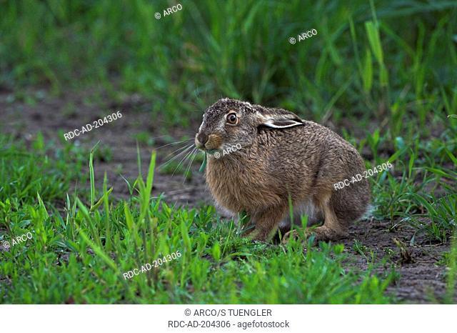Brown Hare, Schleswig-Holstein, Germany, Lepus europaeus, Feldhase, Schleswig-Holstein, Deutschland, Lepus europaeus, Hase, Hasen