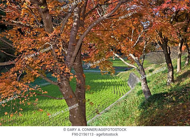 Maple tree in autumn at a rice field in Chiba, Japan