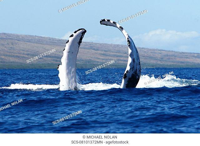Adult humpback Whale Megaptera novaeangliae pectoral fin slapping in the AuAu Channel, Maui, Hawaii, USA Pacific Ocean