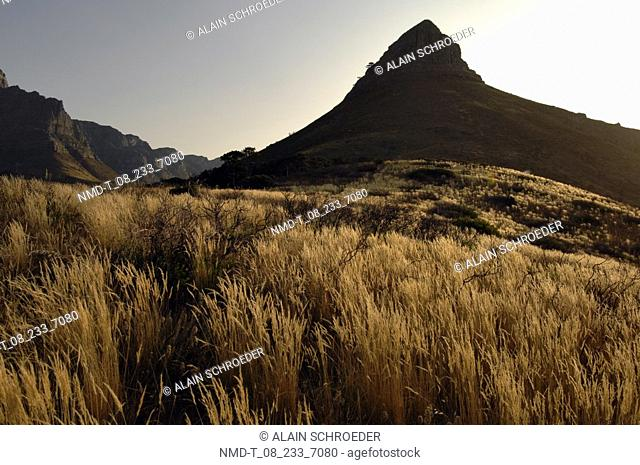 Tall grass in front of mountains, Lion's Head, Table Mountain Cape Town, Western Cape Province, South Africa