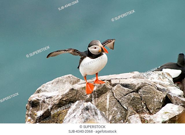 An adult Atlantic puffin Fratercula arctica stretches its wings on a cliff in Sassenfjorden in summertime, Svalbard archipelago, Norway