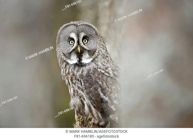 Great Grey Owl Strix uralensis portrait of adult in pine forest  captive-bred bird