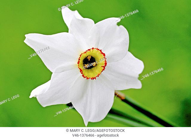 Narcissus against green  Narcissus head at an angle against green background  Fills frame  Corona is yellow with thin red edge