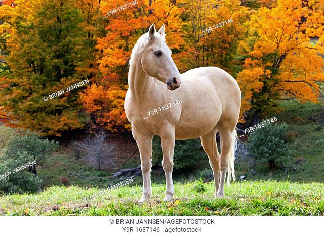 White mare in autumn near Woodstock, Vermont, USA
