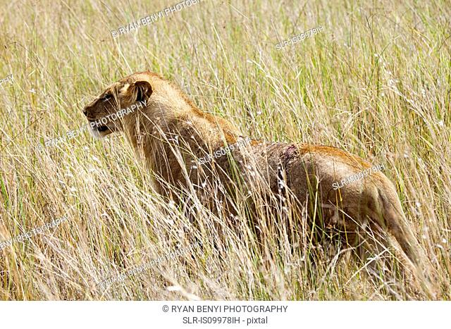 Young Female Lion in the bush, Botswana