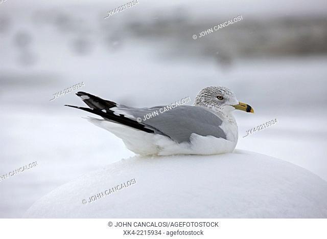 Ring-billed Gull, (Larus delawarensis), NY, USA