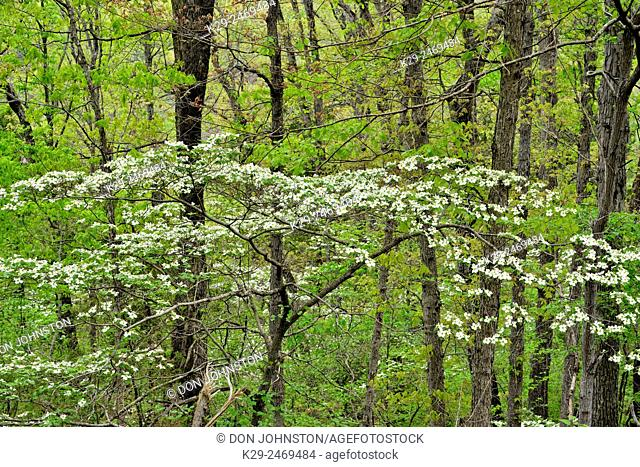 Flowering dogwood in the hardwood forest, Buffalo National River, Arkansas, USA