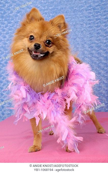 Studio portrait of a Pomeranian dog with a feather boa
