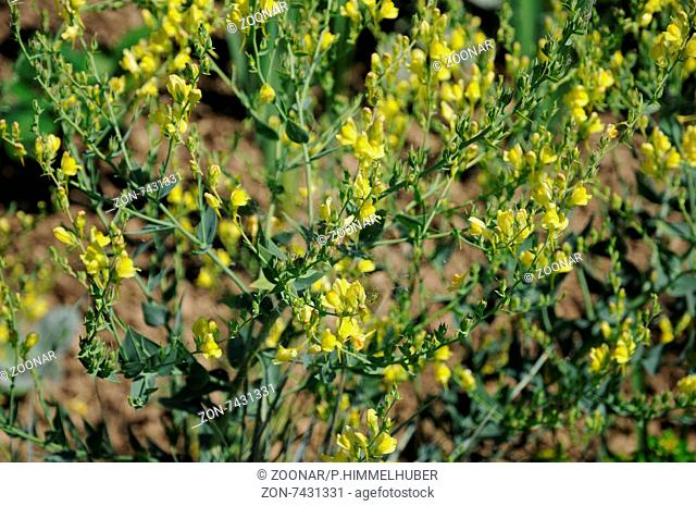 Broomleaf toadflax