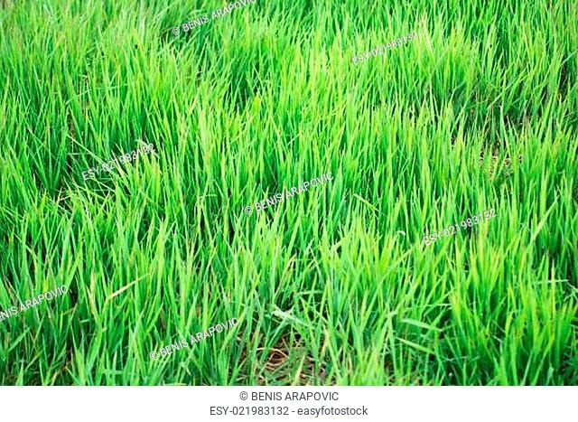 green grass (with telephoto lens)