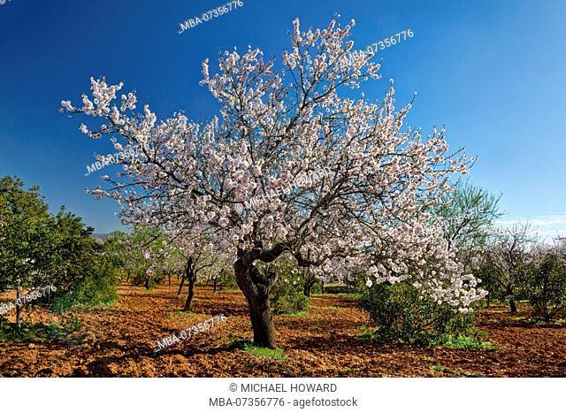 An almond tree in flower in a ploughed field, near Albufeira, Algarve, Portugal