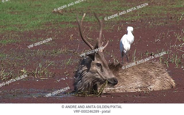 Sambar Deer (Cervus unicolor) with Egret on his back, standing in a duckweed covered lake of Ranthambhore N.P. India