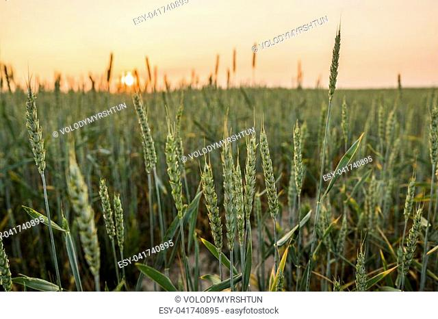Young green wheat ears on a beautiful field with evening sunset sky. Ripening ears wheat. Agriculture. Natural product
