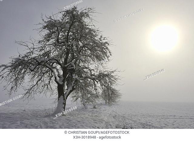 apple trees covered with snow in the mist, department of Eure-et-Loir, Centre-Val-de-Loire region, France, Europe