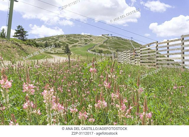 Onobrychis viciifolia pink flowers Spring in Gudar Javalambre mountains Teruel Aragon Spain