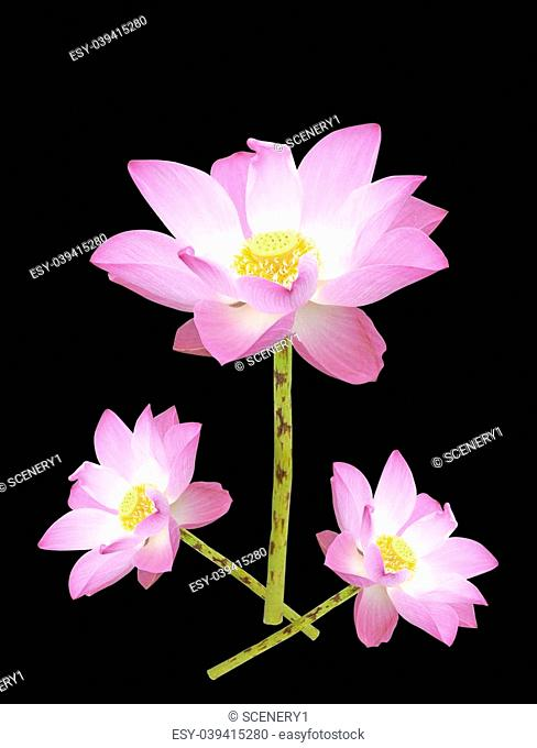 Red lotus with black background Stock Photos and Images