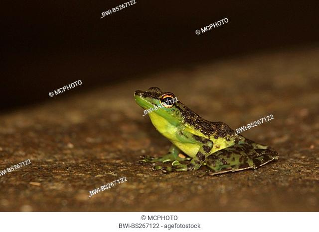 black-spotted rock frog Staurois natator, sitting on soil ground, Malaysia, Sarawak, Borneo