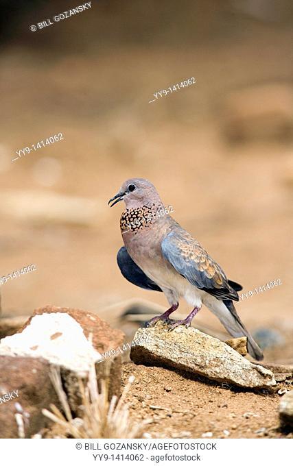 Laughing Dove - El Karama Ranch - Laikipia Region, Kenya