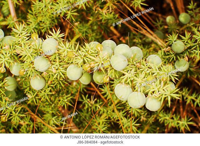 Wild Asparagus (Asparagus albus) fruits