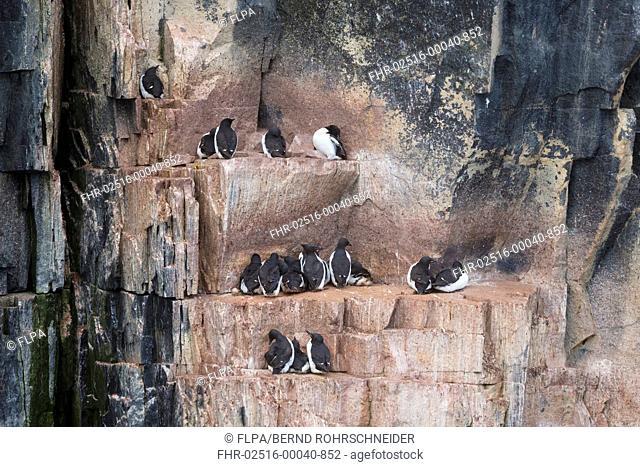 Brunnich's Guillemot (Uria lomvia) adults, breeding plumage, group sitting on coastal cliff ledges, Alkefjellet, Spitsbergen, Svalbard, August