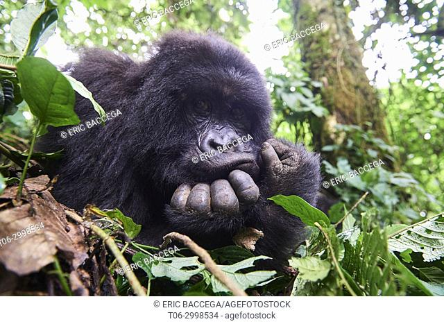 Mountain gorilla female (Gorilla beringei beringei) resting on her hands, Virunga National Park, North Kivu, Democratic Republic of Congo, Africa