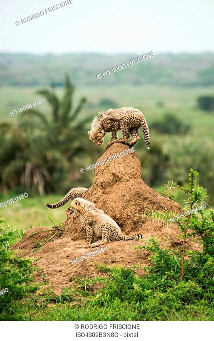 Cheetah mother and her cubs rest on top of termite hill, looking out for prey and predators, Phinda Game Reserve, South Africa