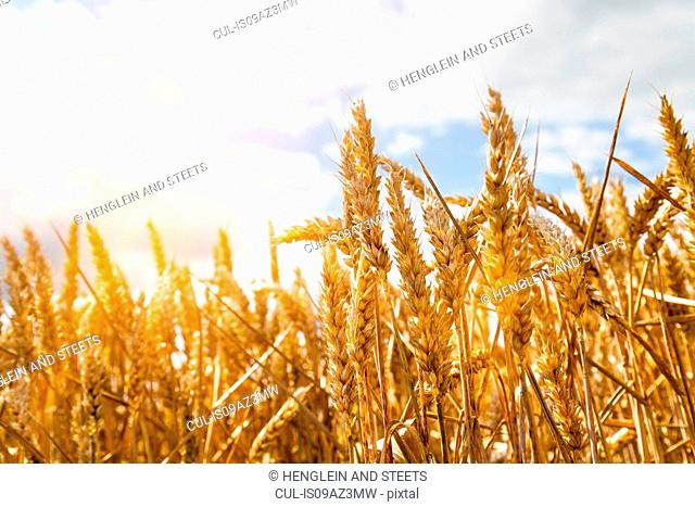 Close up of sunlit golden wheat