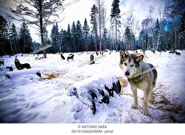 Wolves prowling in snowy landscape