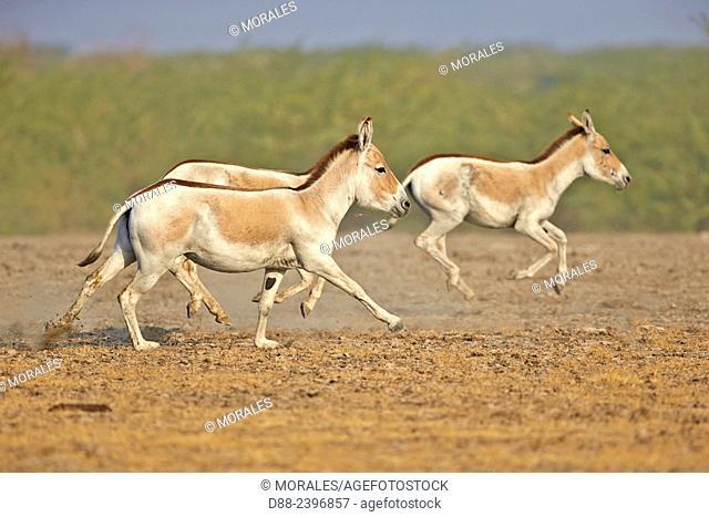 India,Gujarat,Little Rann of Kutch,Wild Ass Sanctuary,Indian wild asses (Equus hemionus khur) ,Khur,running