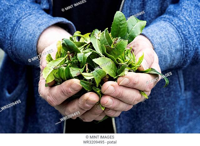 Close up of person holding small heap of freshly harvested green tea leaves