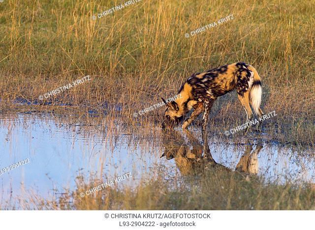 Wild dog (Lycaon pictus) drinking. Okavango Delta, Botswana, Africa